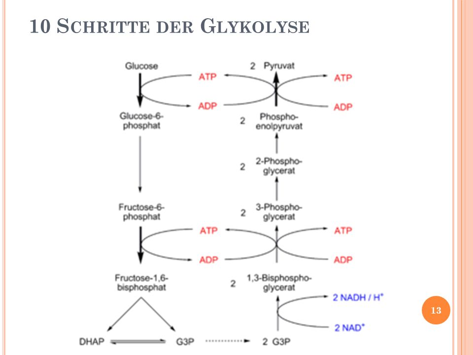 10 S CHRITTE DER G LYKOLYSE 13