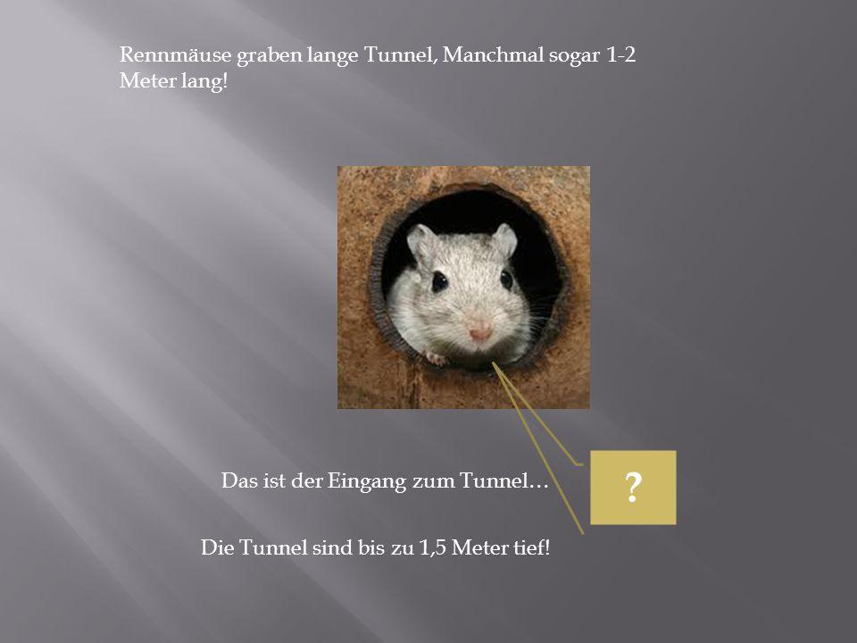Rennmäuse graben lange Tunnel, Manchmal sogar 1-2 Meter lang! Das ist der Eingang zum Tunnel… Die Tunnel sind bis zu 1,5 Meter tief! ?