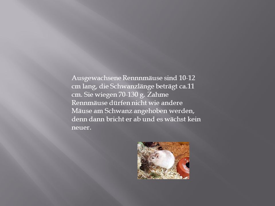Ausgewachsene Rennnmäuse sind 10-12 cm lang, die Schwanzlänge beträgt ca.11 cm. Sie wiegen 70-130 g. Zahme Rennmäuse dürfen nicht wie andere Mäuse am