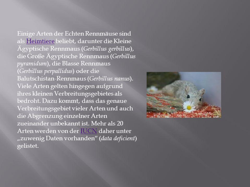 Einige Arten der Echten Rennmäuse sind als Heimtiere beliebt, darunter die Kleine Ägyptische Rennmaus ( Gerbillus gerbillus ), die Große Ägyptische Re