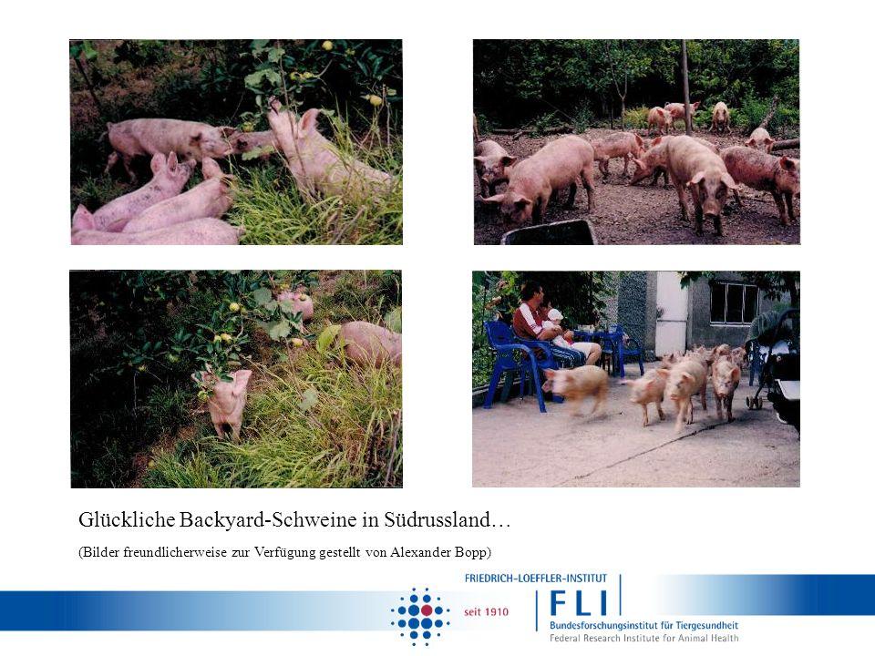 Glückliche Backyard-Schweine in Südrussland… (Bilder freundlicherweise zur Verfügung gestellt von Alexander Bopp)