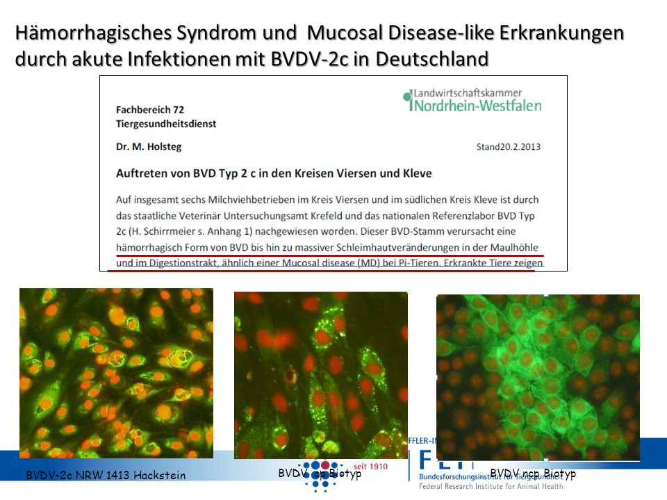BVDV-2c NRW 1413 Hackstein BVDV cp Biotyp BVDV ncp Biotyp Hämorrhagisches Syndrom und Mucosal Disease-like Erkrankungen durch akute Infektionen mit BV