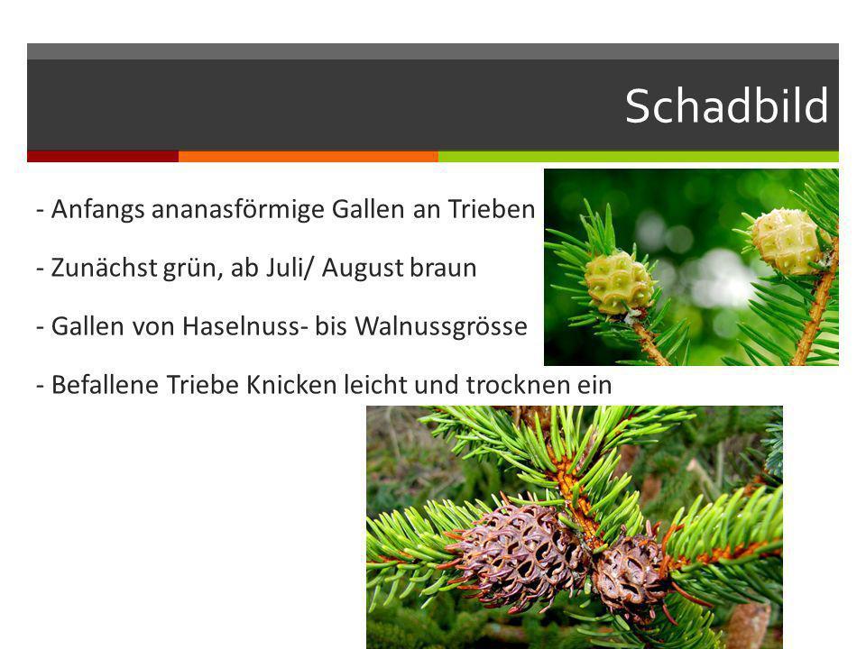Schadbild - Anfangs ananasförmige Gallen an Trieben - Zunächst grün, ab Juli/ August braun - Gallen von Haselnuss- bis Walnussgrösse - Befallene Trieb