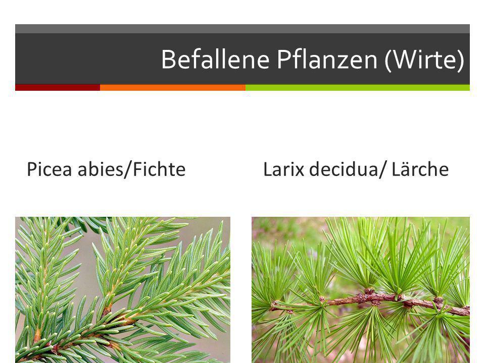 Befallene Pflanzen (Wirte) Picea abies/Fichte Larix decidua/ Lärche