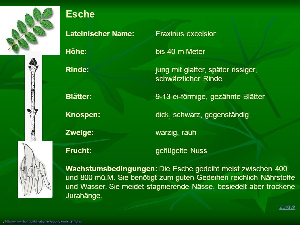 Zurück Esche Lateinischer Name: Fraxinus excelsior Höhe: bis 40 m Meter Rinde: jung mit glatter, später rissiger, schwärzlicher Rinde Blätter:9-13 ei-förmige, gezähnte Blätter Knospen: dick, schwarz, gegenständig Zweige:warzig, rauh Frucht:geflügelte Nuss Wachstumsbedingungen: Die Esche gedeiht meist zwischen 400 und 800 mü.M.