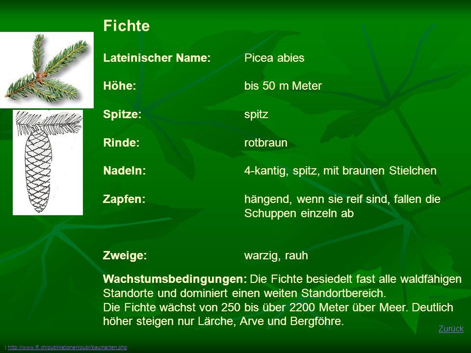 Zurück Fichte Lateinischer Name: Picea abies Höhe: bis 50 m Meter Spitze:spitz Rinde: rotbraun Nadeln: 4-kantig, spitz, mit braunen Stielchen Zapfen:h