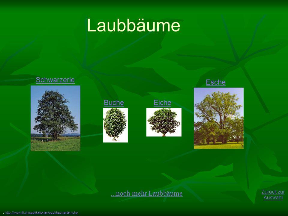 BucheEiche Laubbäume Esche Zurück zur Auswahl Schwarzerle : http://www.lfi.ch/publikationen/publ/baumarten.phphttp://www.lfi.ch/publikationen/publ/baumarten.php...noch mehr Laubbäume