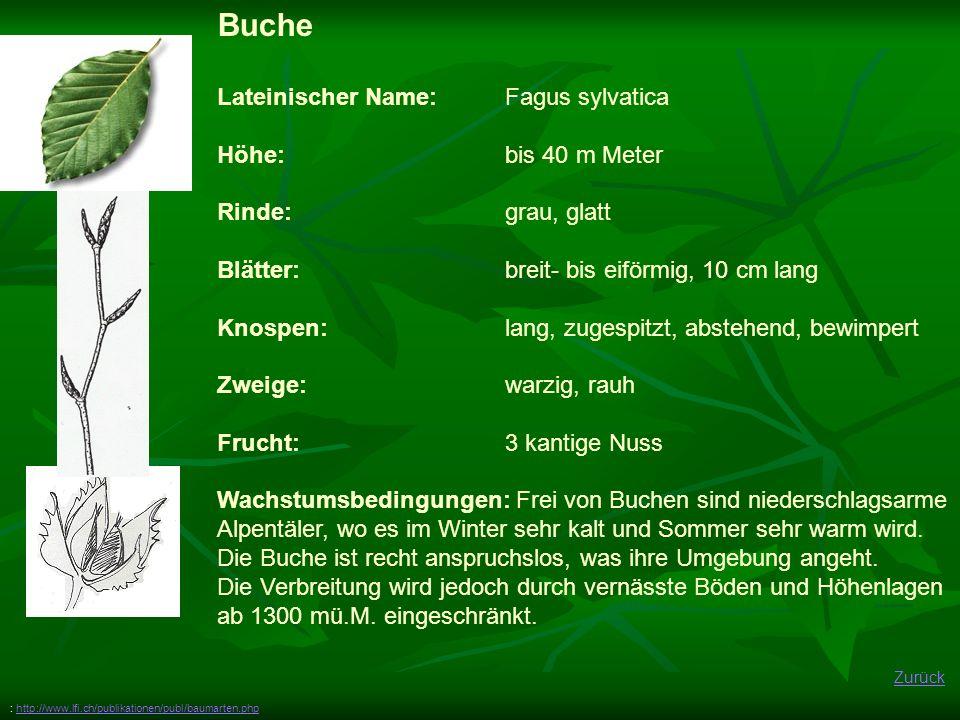 Zurück Buche Lateinischer Name: Fagus sylvatica Höhe: bis 40 m Meter Rinde: grau, glatt Blätter:breit- bis eiförmig, 10 cm lang Knospen: lang, zugespi