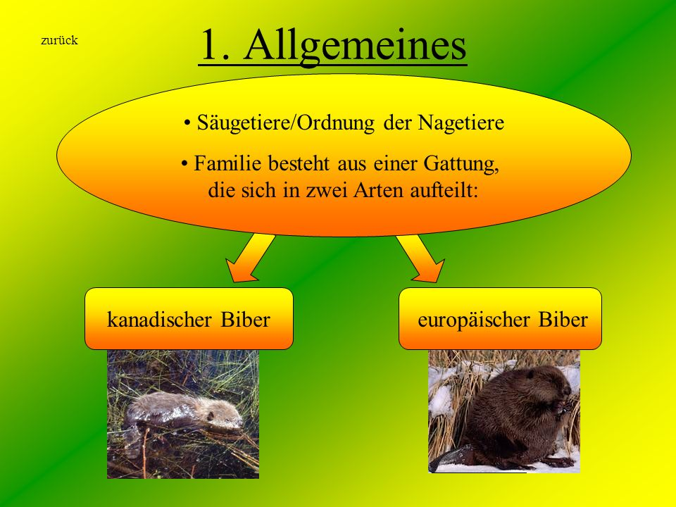 europäischer Biber 1. Allgemeines kanadischer Biber Säugetiere/Ordnung der Nagetiere Familie besteht aus einer Gattung, die sich in zwei Arten aufteil