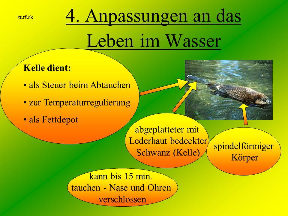 4. Anpassungen an das Leben im Wasser kann bis 15 min. tauchen - Nase und Ohren verschlossen Kelle dient: als Steuer beim Abtauchen zur Temperaturregu