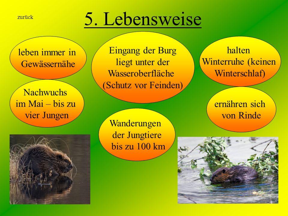 5. Lebensweise Nachwuchs im Mai – bis zu vier Jungen leben immer in Gewässernähe Eingang der Burg liegt unter der Wasseroberfläche (Schutz vor Feinden