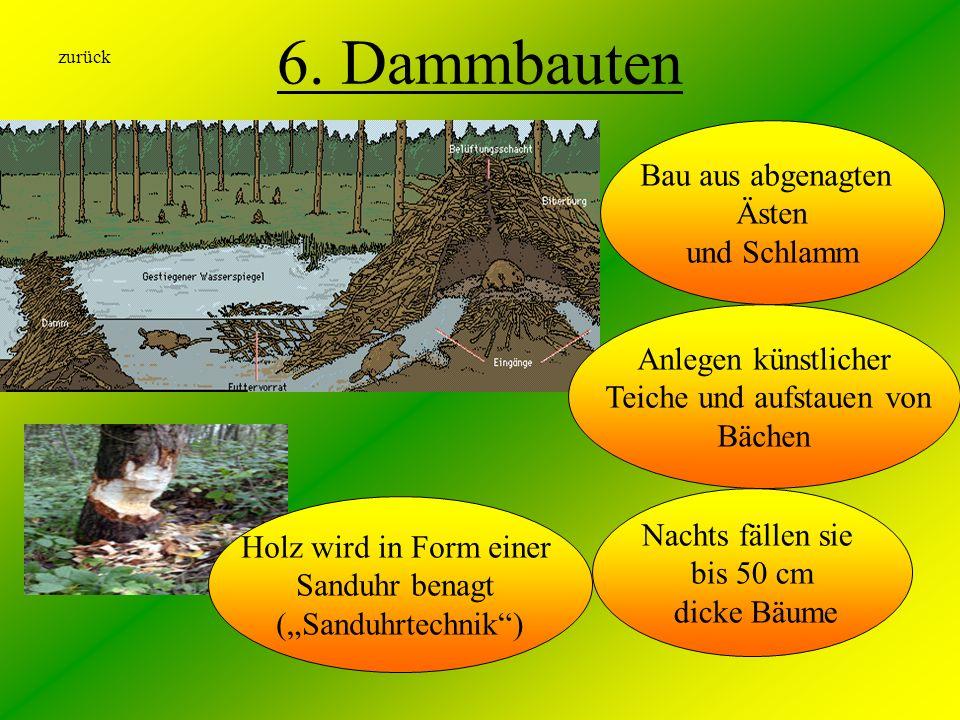 6. Dammbauten Nachts fällen sie bis 50 cm dicke Bäume Bau aus abgenagten Ästen und Schlamm zurück Holz wird in Form einer Sanduhr benagt (Sanduhrtechn