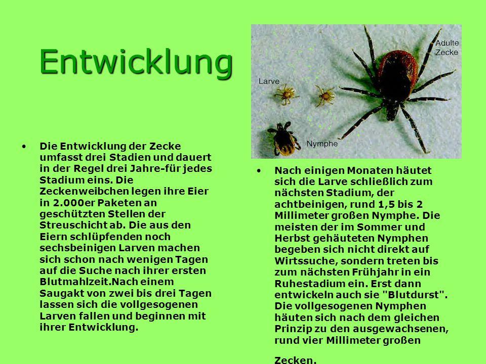 Zecken sind keine Insekten sondern Spinnentiere. Weltweit gibt es rund 800 verschiedene Zeckenarten und alle saugen Blut. In Nord- und Mitteleuropa is