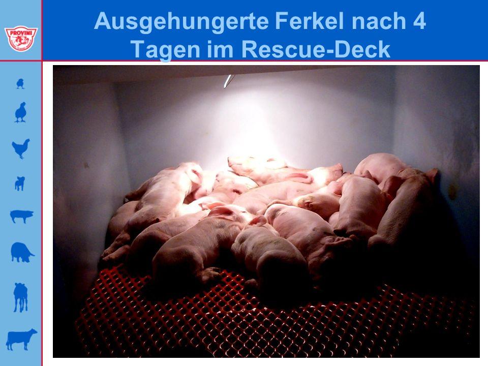 Ausgehungerte Ferkel nach 2 Wochen im Rescue-Deck