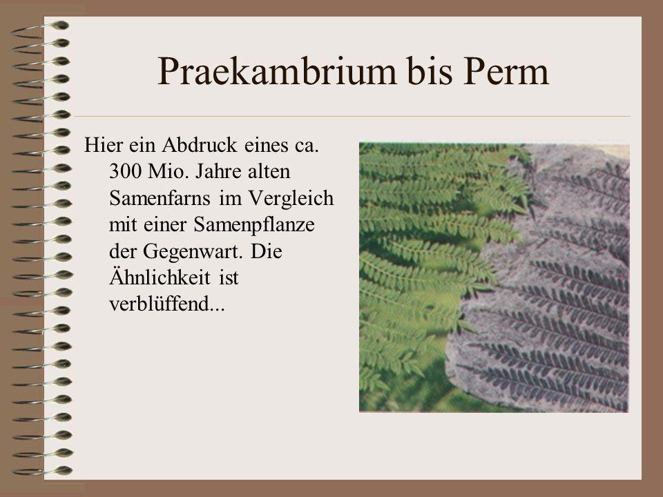 Praekambrium bis Perm Hier ein Abdruck eines ca. 300 Mio. Jahre alten Samenfarns im Vergleich mit einer Samenpflanze der Gegenwart. Die Ähnlichkeit is
