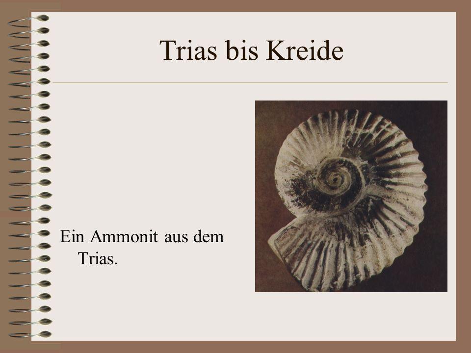 Trias bis Kreide Ein Ammonit aus dem Trias.