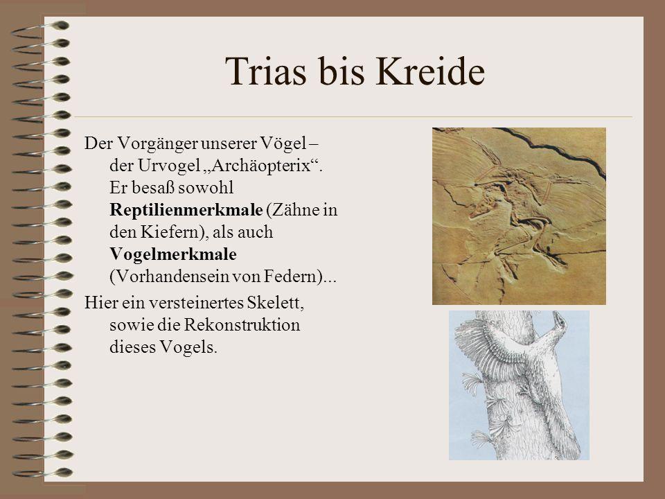 Trias bis Kreide Der Vorgänger unserer Vögel – der Urvogel Archäopterix. Er besaß sowohl Reptilienmerkmale (Zähne in den Kiefern), als auch Vogelmerkm