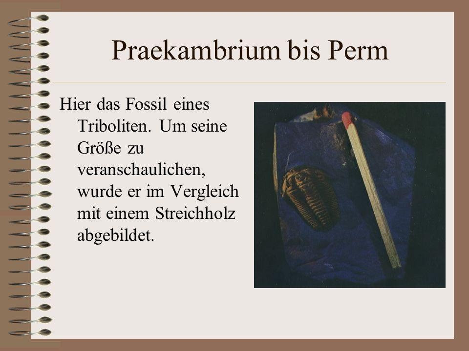 Praekambrium bis Perm Hier das Fossil eines Triboliten. Um seine Größe zu veranschaulichen, wurde er im Vergleich mit einem Streichholz abgebildet.