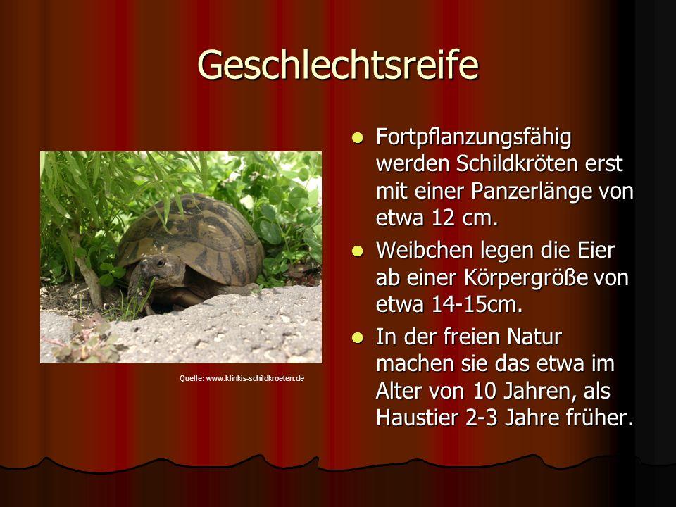 Geschlechtsreife Fortpflanzungsfähig werden Schildkröten erst mit einer Panzerlänge von etwa 12 cm. Fortpflanzungsfähig werden Schildkröten erst mit e