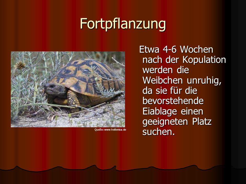 Fortpflanzung Etwa 4-6 Wochen nach der Kopulation werden die Weibchen unruhig, da sie für die bevorstehende Eiablage einen geeigneten Platz suchen. Et