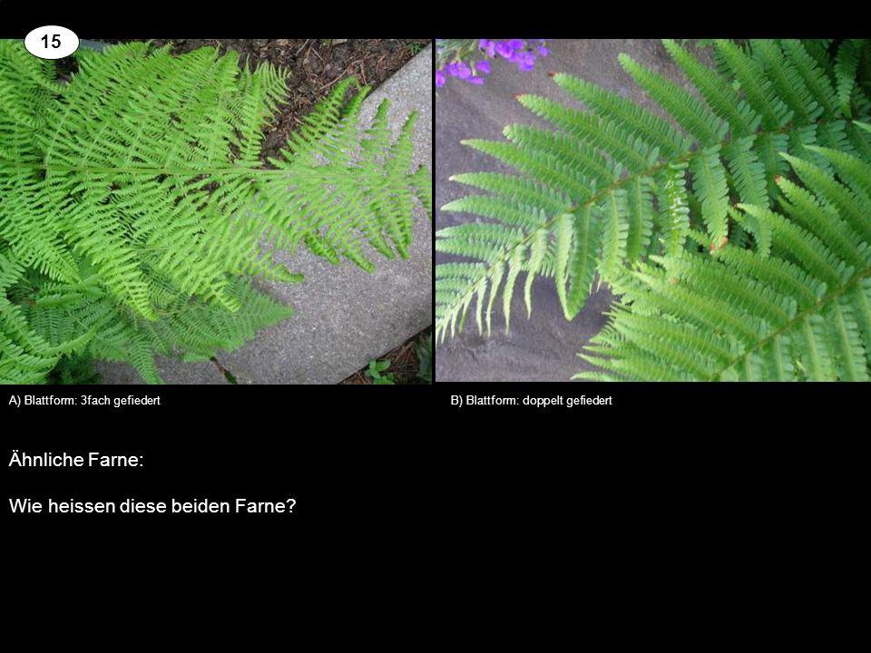 Ähnliche Farne: Wie heissen diese beiden Farne? A) Blattform: 3fach gefiedertB) Blattform: doppelt gefiedert 15