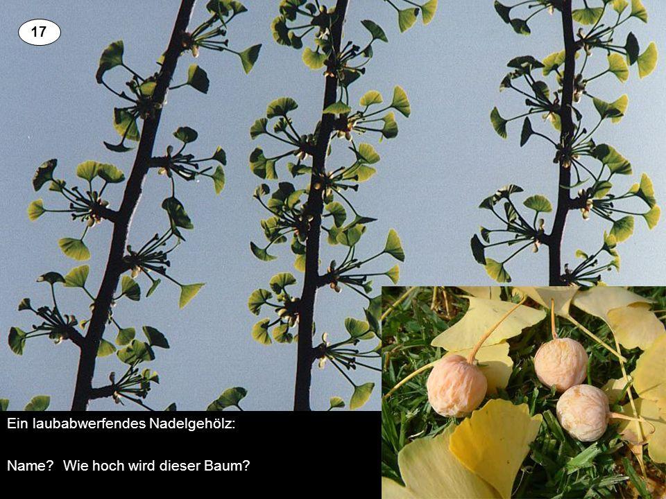 Ein laubabwerfendes Nadelgehölz: Name? Wie hoch wird dieser Baum? 3 17