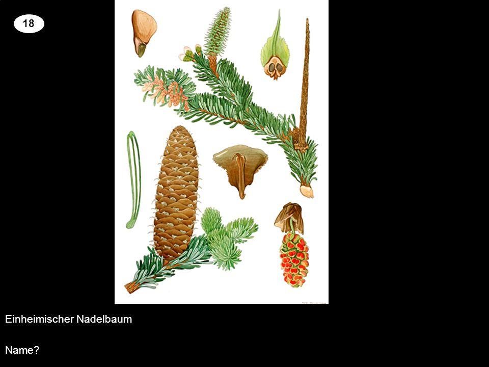 Einheimischer Nadelbaum Name? 18