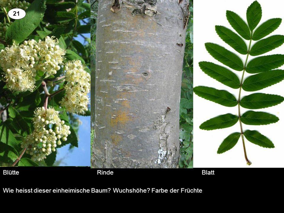 Blütte RindeBlatt Wie heisst dieser einheimische Baum? Wuchshöhe? Farbe der Früchte 21