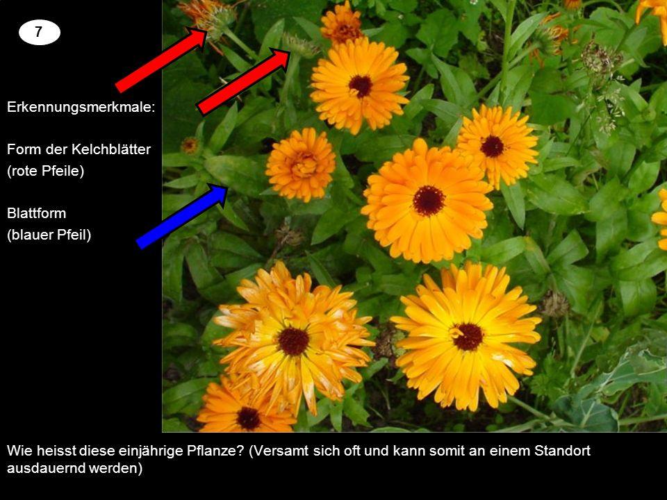 Wie heisst diese einjährige Pflanze? (Versamt sich oft und kann somit an einem Standort ausdauernd werden) 2 7 Erkennungsmerkmale: Form der Kelchblätt
