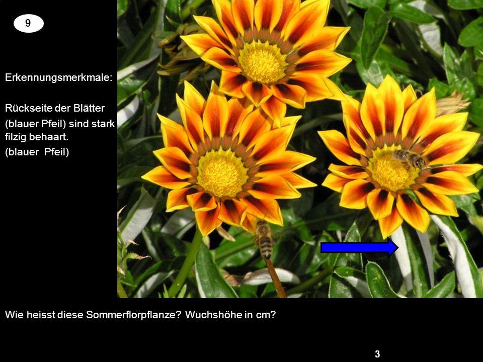 Wie heisst diese Sommerflorpflanze? Wuchshöhe in cm? 3 2 9 Erkennungsmerkmale: Rückseite der Blätter (blauer Pfeil) sind stark filzig behaart. (blauer