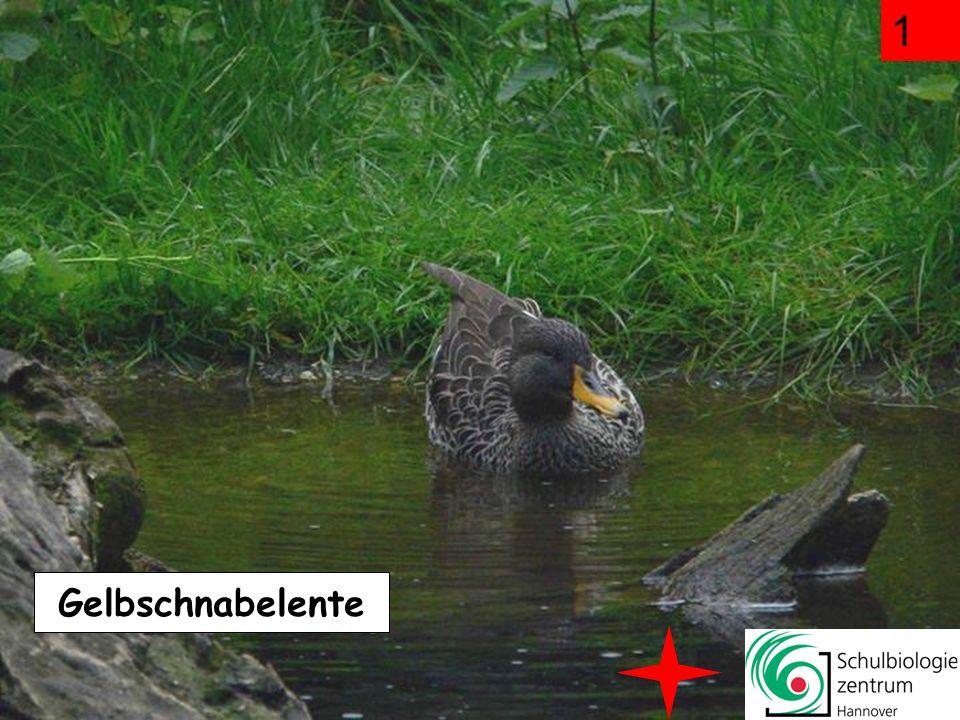 Kennst du die Vögel im Zoo Hannover? Klick dich durch Greifvögel, Enten, Strauße und Pinguine! Sammele möglichst viele Punkte! Auf Mausklick geht es l