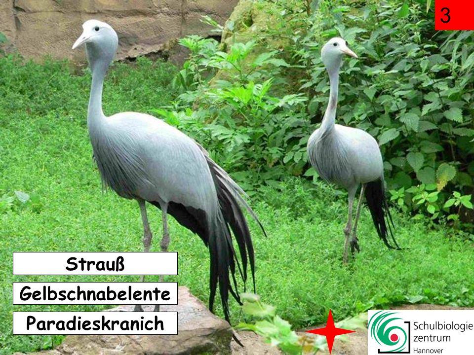 Der Vogel frisst Steine, wenn er Hunger hat weil er sie mit Körnern verwechselt um damit Nahrung zu zerreiben