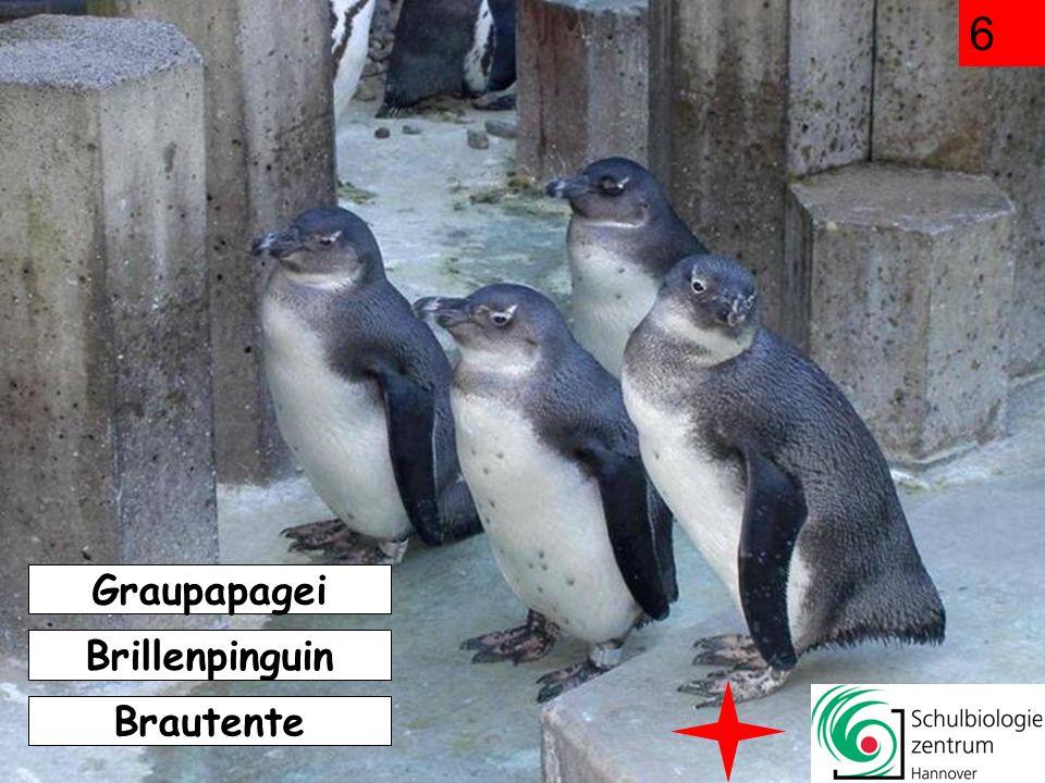 Graupapagei Brautente Brillenpinguin 6