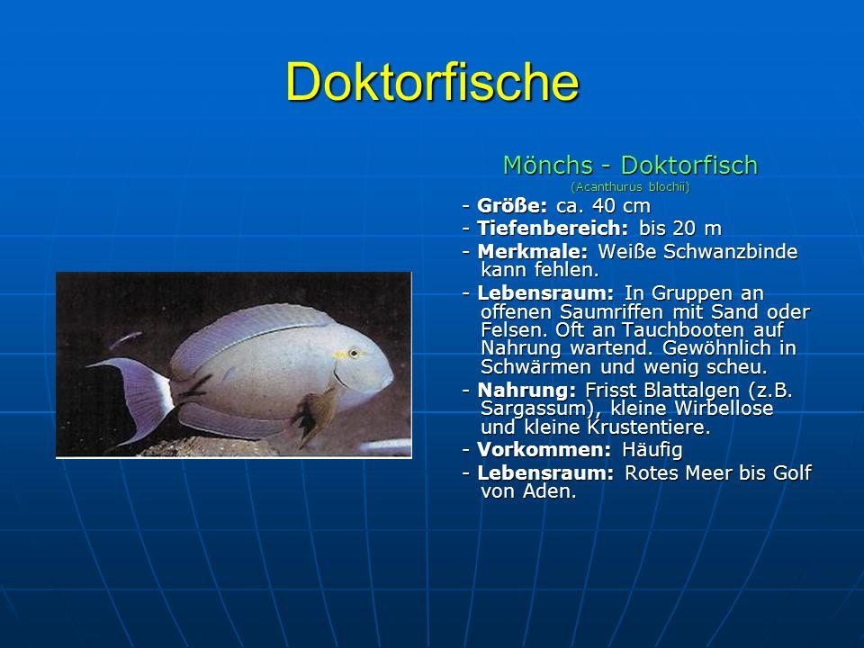 Doktorfische Mönchs - Doktorfisch (Acanthurus blochii) - Größe: ca. 40 cm - Größe: ca. 40 cm - Tiefenbereich: bis 20 m - Tiefenbereich: bis 20 m - Mer