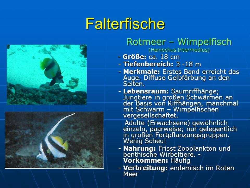 Falterfische Rotmeer – Wimpelfisch (Heniochus Intermedius) - Größe: ca. 18 cm - Größe: ca. 18 cm - Tiefenbereich: 3 -18 m - Tiefenbereich: 3 -18 m - M