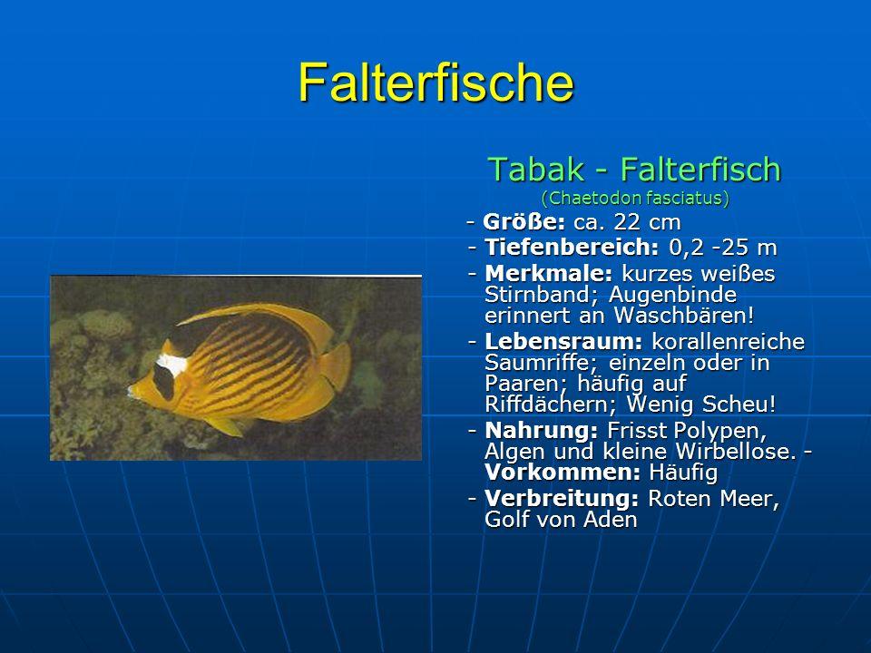 Falterfische Tabak - Falterfisch (Chaetodon fasciatus) - Größe: ca. 22 cm - Größe: ca. 22 cm - Tiefenbereich: 0,2 -25 m - Tiefenbereich: 0,2 -25 m - M