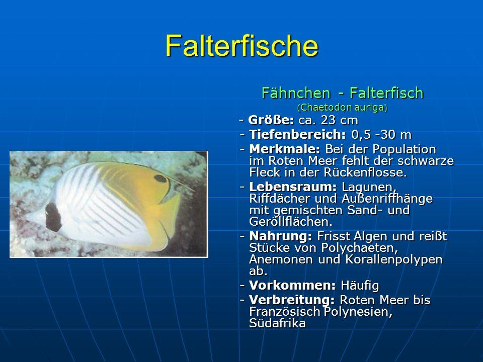 Falterfische Fähnchen - Falterfisch ( Chaetodon auriga ) - Größe: ca. 23 cm - Größe: ca. 23 cm - Tiefenbereich: 0,5 -30 m - Tiefenbereich: 0,5 -30 m -