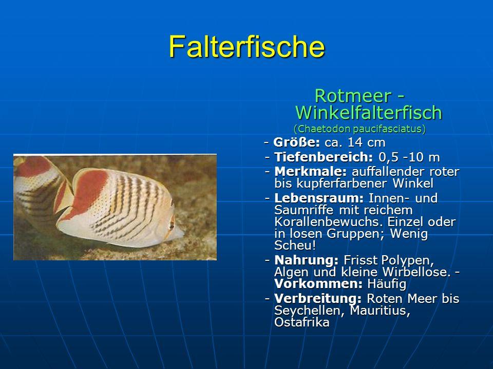 Falterfische Rotmeer - Winkelfalterfisch (Chaetodon paucifasciatus) - Größe: ca. 14 cm - Größe: ca. 14 cm - Tiefenbereich: 0,5 -10 m - Tiefenbereich: