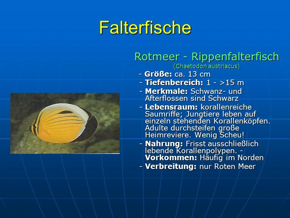 Falterfische Rotmeer - Rippenfalterfisch (Chaetodon austriacus) - Größe: ca. 13 cm - Größe: ca. 13 cm - Tiefenbereich: 1 - >15 m - Tiefenbereich: 1 -