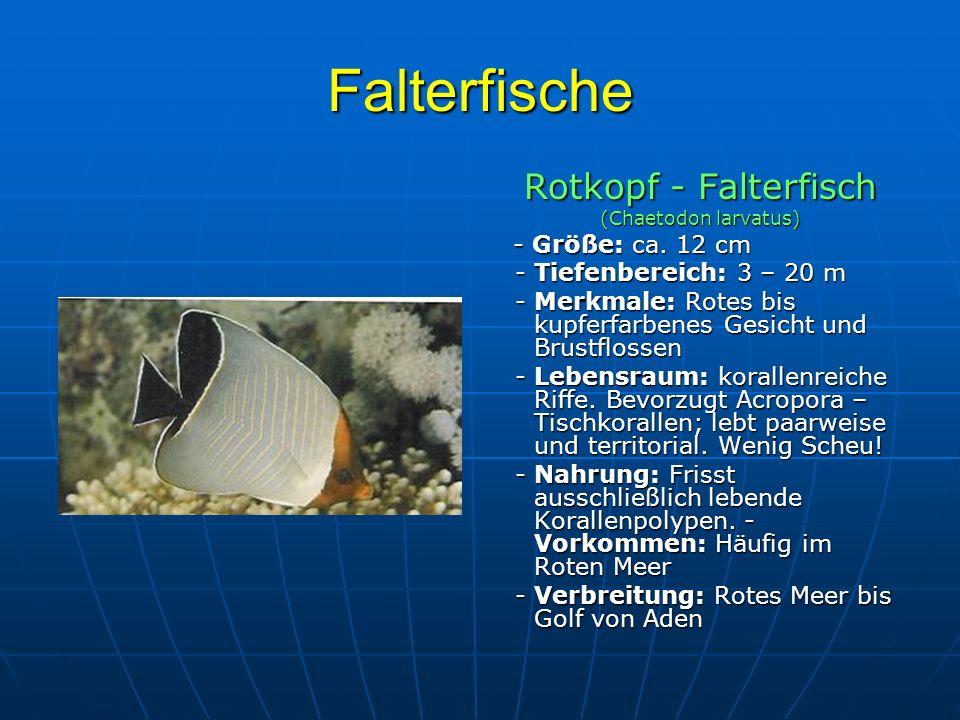 Falterfische Rotkopf - Falterfisch (Chaetodon larvatus) - Größe: ca. 12 cm - Größe: ca. 12 cm - Tiefenbereich: 3 – 20 m - Tiefenbereich: 3 – 20 m - Me