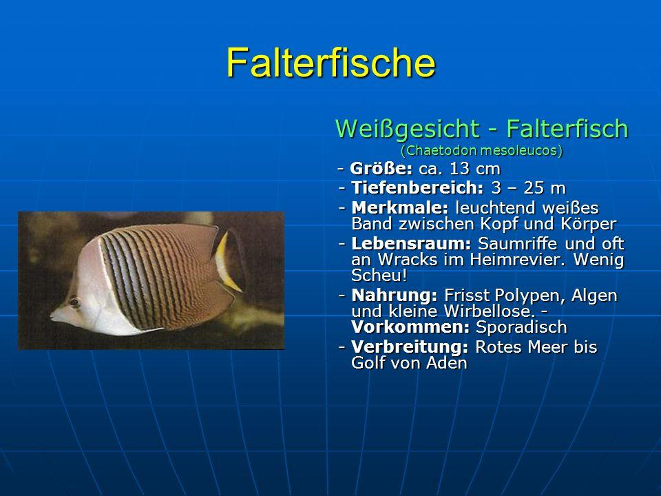 Falterfische Weißgesicht - Falterfisch (Chaetodon mesoleucos) - Größe: ca. 13 cm - Größe: ca. 13 cm - Tiefenbereich: 3 – 25 m - Tiefenbereich: 3 – 25