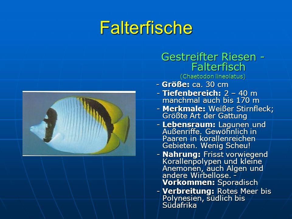 Falterfische Gestreifter Riesen - Falterfisch (Chaetodon lineolatus) - Größe: ca. 30 cm - Größe: ca. 30 cm - Tiefenbereich: 2 – 40 m manchmal auch bis