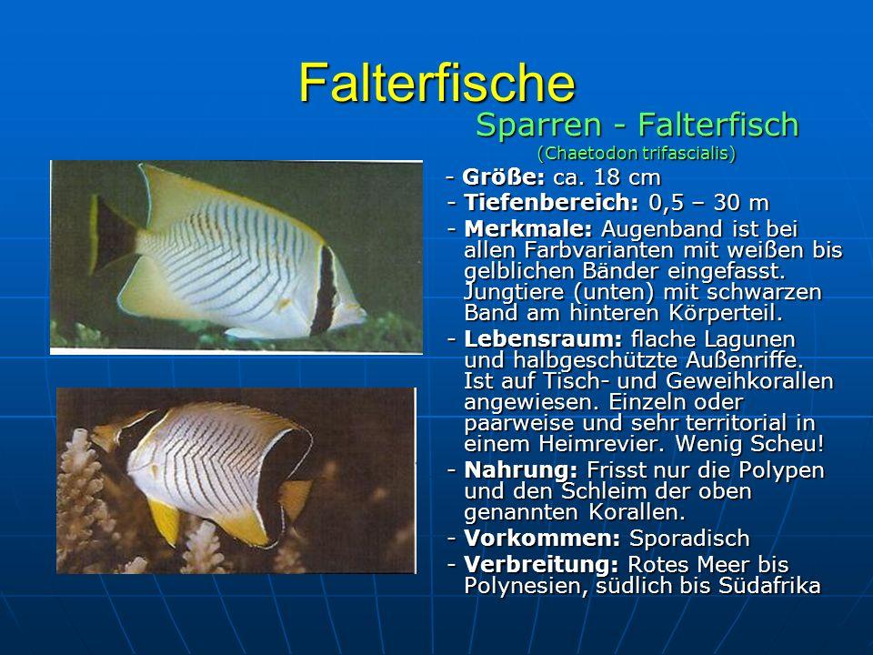 Falterfische Sparren - Falterfisch (Chaetodon trifascialis) - Größe: ca. 18 cm - Größe: ca. 18 cm - Tiefenbereich: 0,5 – 30 m - Tiefenbereich: 0,5 – 3