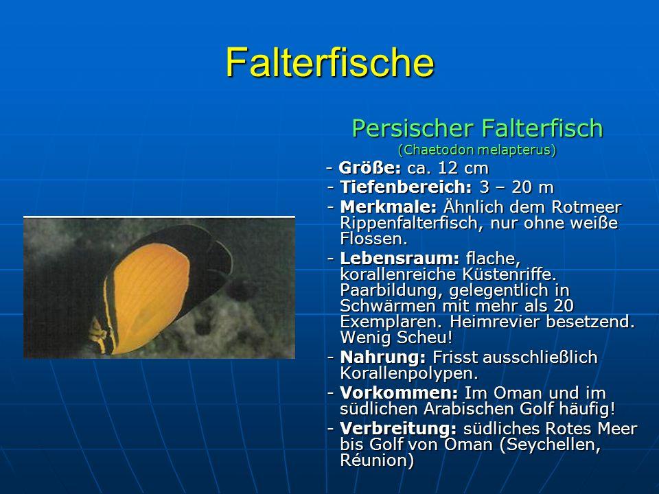 Falterfische Persischer Falterfisch (Chaetodon melapterus) - Größe: ca. 12 cm - Größe: ca. 12 cm - Tiefenbereich: 3 – 20 m - Tiefenbereich: 3 – 20 m -