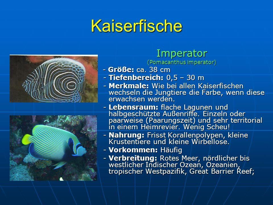 Kaiserfische Imperator (Pomacanthus imperator) - Größe: ca. 38 cm - Größe: ca. 38 cm - Tiefenbereich: 0,5 – 30 m - Tiefenbereich: 0,5 – 30 m - Merkmal