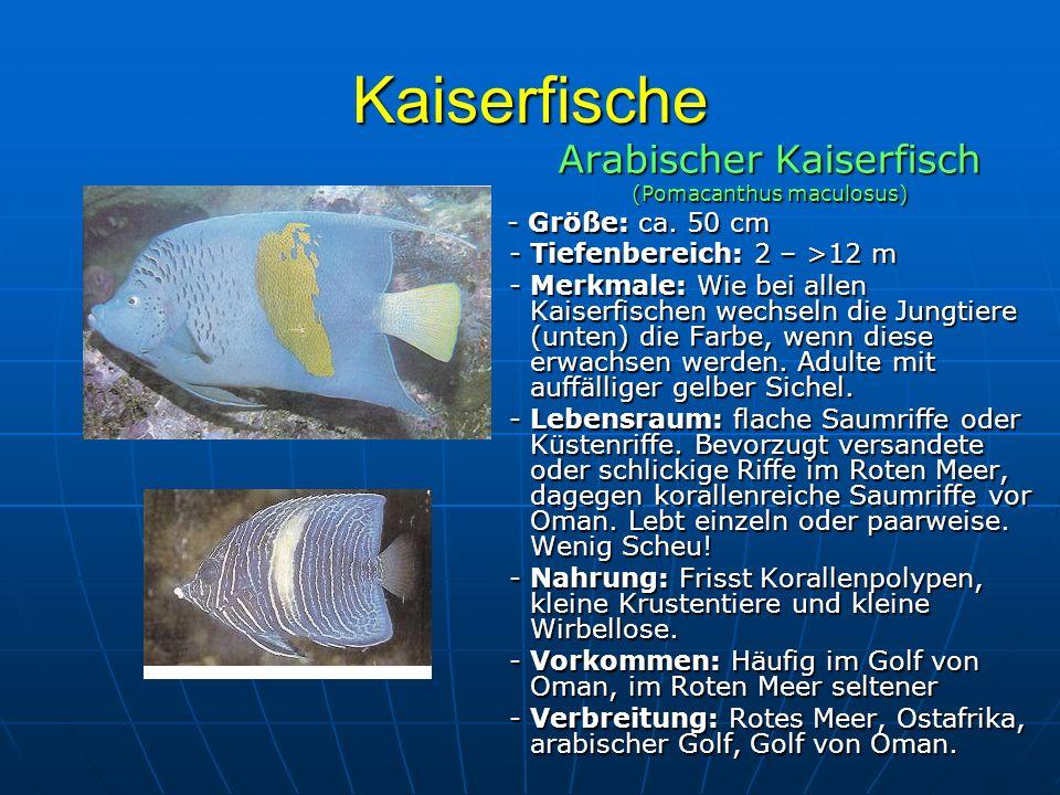 Kaiserfische Arabischer Kaiserfisch (Pomacanthus maculosus) - Größe: ca. 50 cm - Größe: ca. 50 cm - Tiefenbereich: 2 – >12 m - Tiefenbereich: 2 – >12