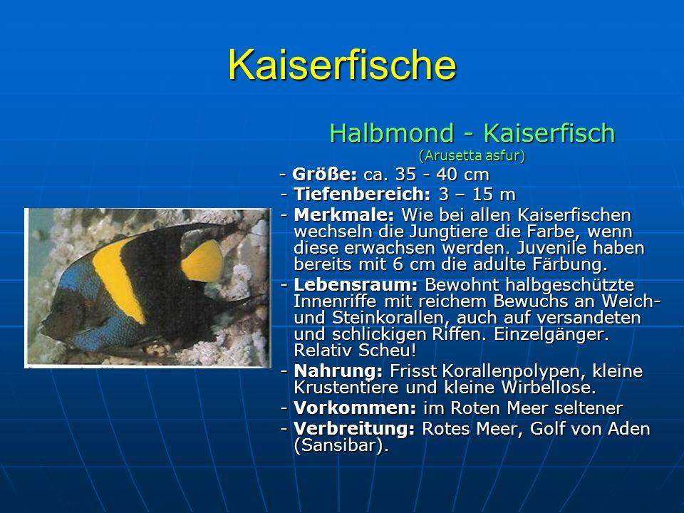 Kaiserfische Halbmond - Kaiserfisch (Arusetta asfur) - Größe: ca. 35 - 40 cm - Größe: ca. 35 - 40 cm - Tiefenbereich: 3 – 15 m - Tiefenbereich: 3 – 15