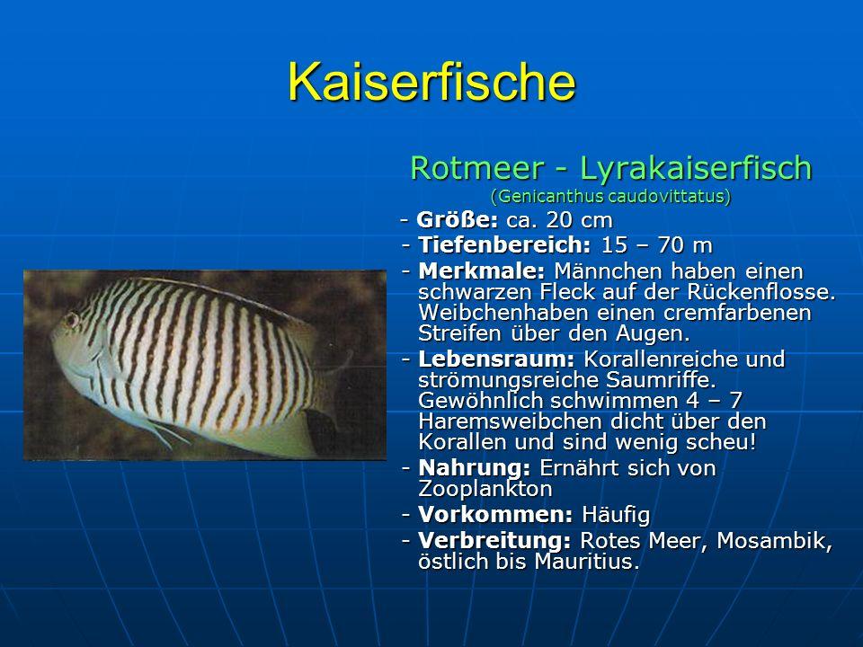 Kaiserfische Rotmeer - Lyrakaiserfisch (Genicanthus caudovittatus) - Größe: ca. 20 cm - Größe: ca. 20 cm - Tiefenbereich: 15 – 70 m - Tiefenbereich: 1