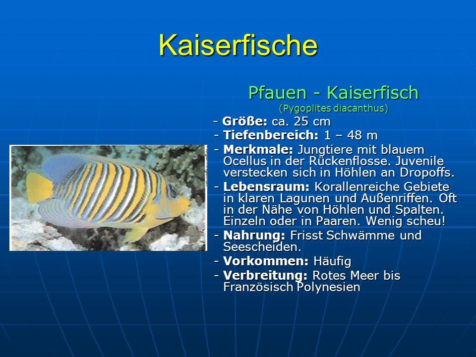 Kaiserfische Pfauen - Kaiserfisch (Pygoplites diacanthus) - Größe: ca. 25 cm - Größe: ca. 25 cm - Tiefenbereich: 1 – 48 m - Tiefenbereich: 1 – 48 m -