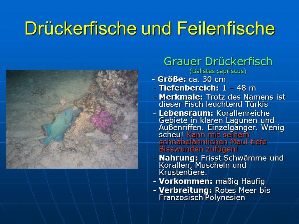 Drückerfische und Feilenfische Grauer Drückerfisch (Balistes capriscus) - Größe: ca. 30 cm - Größe: ca. 30 cm - Tiefenbereich: 1 – 48 m - Tiefenbereic